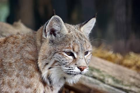 OS X 10.9 sarà identificato con il nome Lynx